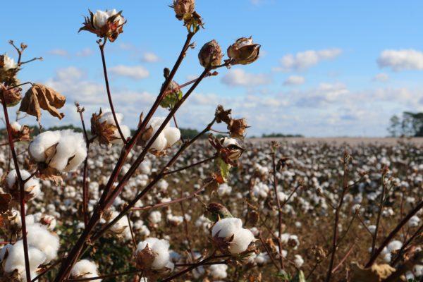 Coton bio utilisé dans la mode éthique